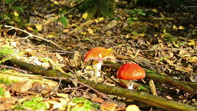 Fly agaric mushrooms in sunlight in forest. With light and shadow stock video footage