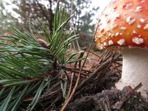 Fly agaric Netherlands stock image