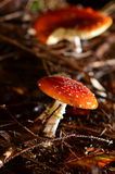 Fly agaric in the night Stock Image