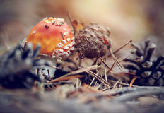 Fly agaric and pine cones. Royalty Free Stock Photography