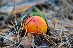 Fly-agaric in a pine forest. Small orange fly agaric in a pine forest. Shallow depth of field Stock Photography