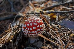 Fly-agaric in a pine forest. Small red fly agaric in dry pine needles. Shallow depth of field Stock Image