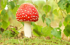 Fly Agaric Royalty Free Stock Image