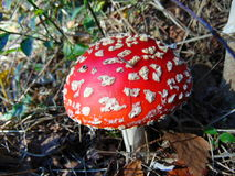 Fly agaric, red toadstool with white dots. Red toadstool with white dots in the woods royalty free stock image