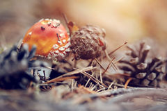 Fly agaric, red in white speck, and pine cones. Stock Photo