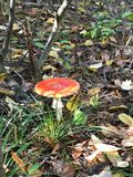 Fly agaric in summer forest top view royalty free stock photos