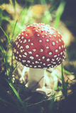 Fly agaric with tint Royalty Free Stock Images