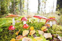 Fly agaric toadstool Royalty Free Stock Images