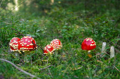 Fly agaric toadstool, Amanita muscaria family in moss Royalty Free Stock Photography