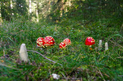 Fly agaric toadstool, Amanita muscaria family in moss. Fly agaric toadstool, Amanita muscaria family in tge forest Royalty Free Stock Images
