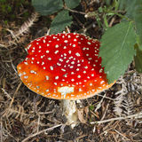 Fly agaric toadstool (Amanita muscaria in woodland Royalty Free Stock Image