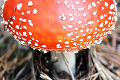 Fly Agaric (toadstool) Stock Photo