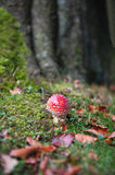 Fly Agaric Toadstool. A Fly Agaric toadstool growing beside a tree in Derbyshire Royalty Free Stock Images