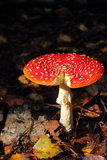 Fly agaric. Toadstool. Mushroom. Royalty Free Stock Photo