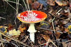 Fly agaric toadstool Stock Image