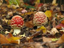 Fly agarics. At the forest stock photography