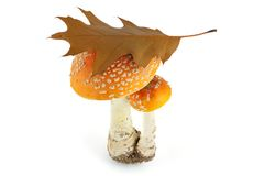 Fly agarics Royalty Free Stock Images
