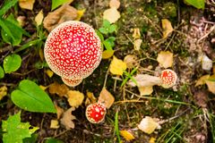 Fly agarics in the autumn forest. Royalty Free Stock Image