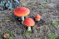 Fly agarics (Аmanita Muscaria) Royalty Free Stock Images