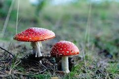Fly agarics (Аmanita Muscaria). Fly agarics from Imatra, Finland royalty free stock photo