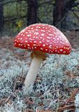 Fly amanita Royalty Free Stock Photography