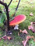 Fly amanita. Amanita muscaria mushroom Royalty Free Stock Photos