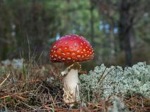 Fly amanita Royalty Free Stock Photo