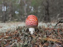 Fly amanita Stock Images