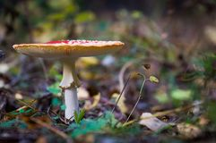 Fly amanita mushroom. Close up view Royalty Free Stock Images
