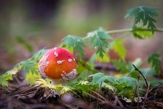 Fly amanita mushroom. Little button Stock Image