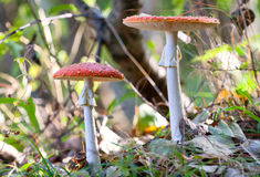 Fly amanita mushrooms Royalty Free Stock Photography