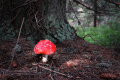 Fly Amanita, Red Riding Hood royalty free stock photos