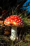 Fly amanita toadstool, Netherlands Stock Photo