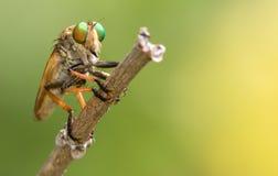 Fly with amazing eyes. Stock Photo