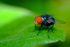 Fly. Amezing insect fly red eye Stock Image