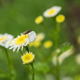 Fly Amongst The Feverfew Stock Images