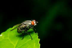 Fly. Animals  background  big  biology  bug  close  closeup  color  colour  eyes Stock Photos