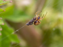 Fly as prey with spider looming Royalty Free Stock Photo