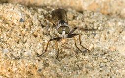 Fly asilidae. Macro of this fly predator with prey.Fly asilidae Stock Image