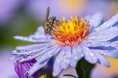 Fly on aster flower Stock Photos