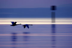 Fly away. Two swans gliding over the lake constance/germany Royalty Free Stock Photos