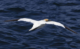 Fly away gannet. A northern gannet flying away for fishing stock photos