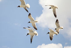 Fly Away. Group of Seagulls in flight Stock Photography
