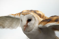 Fly Away With Me. Closeup of a Barn Owl in flight Stock Photos