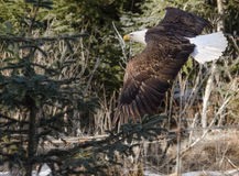 Fly-by by Bald Eagle against forest background. Bald Eagle sweeps around spruce tree Royalty Free Stock Images