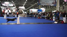 Fly ball competition during International Dog Show stock video footage