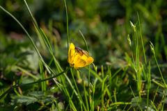 Fly on beautiful yellow flower in green grass and sunlight. Blooming bright yellow flower with sitting fly. Wildlife concept. Spring and summer nature concept stock image