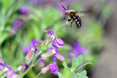 Fly-bee on purple flowers Royalty Free Stock Photography