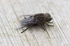 Fly / Musca on a bench Stock Photos