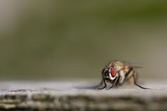 Fly with big red eyes Royalty Free Stock Photography